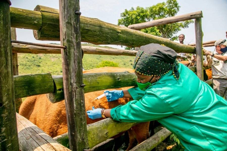 MEC Leads A Cattle Vaccination Drive To Contain An Outbreak Of Brucella Bacteria Which Causes Abortions And Infertility In Livestock And People In The Province